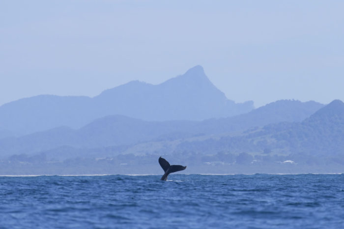 Humpback Whale tours with Go Sea Kayak Byron Bay