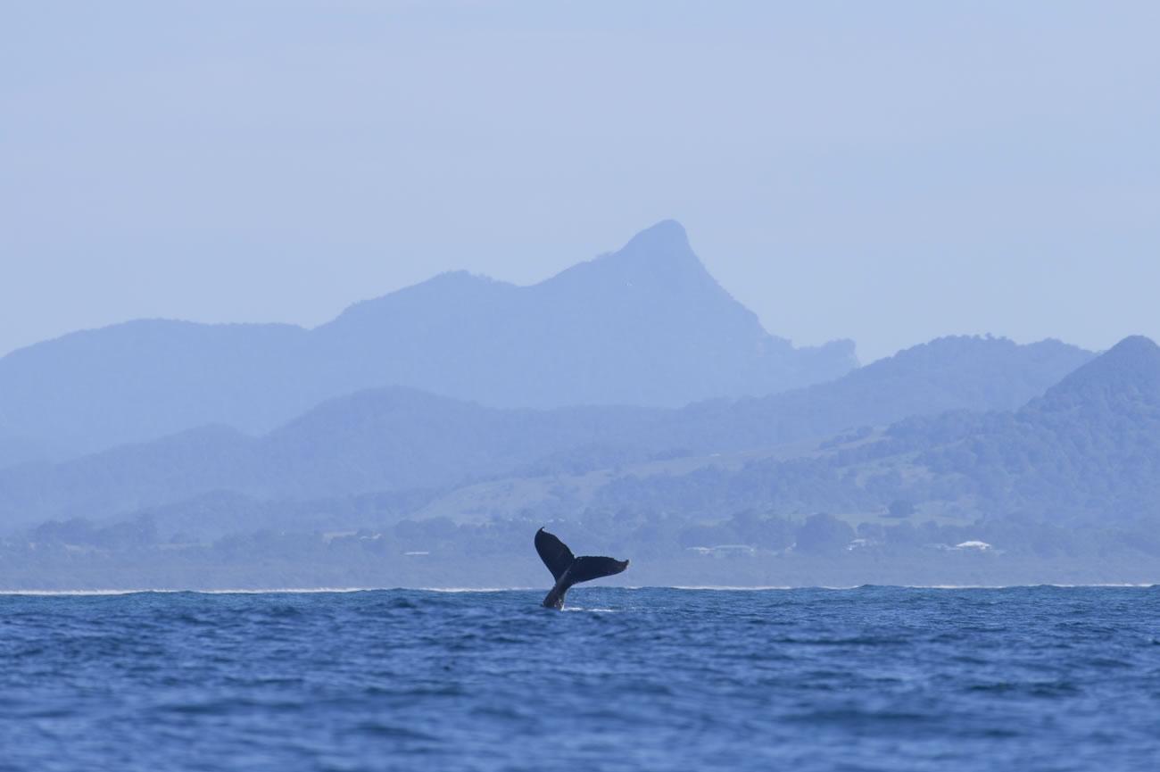 Humpback Whale tours with Go Sea Kayak Byron Bay